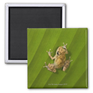 Dink frog (Eleutherodactylus diastema) on a leaf 2 Inch Square Magnet