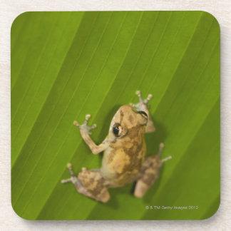 Dink frog (Eleutherodactylus diastema) on a leaf Beverage Coaster