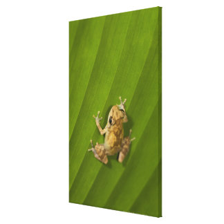 Dink frog (Eleutherodactylus diastema) on a leaf Canvas Print