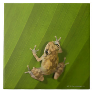 Dink frog (Eleutherodactylus diastema) on a leaf Large Square Tile