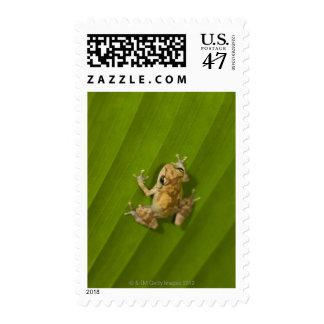 Dink frog (Eleutherodactylus diastema) on a leaf Postage