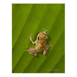 Dink frog (Eleutherodactylus diastema) on a leaf Postcard