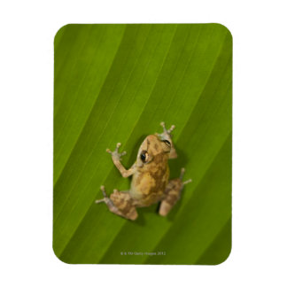 Dink frog (Eleutherodactylus diastema) on a leaf Rectangular Photo Magnet