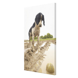 Dirty dog looking at tennis ball in mud canvas print