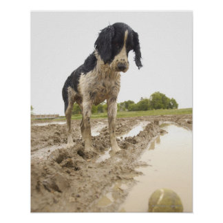 Dirty dog looking at tennis ball in mud poster