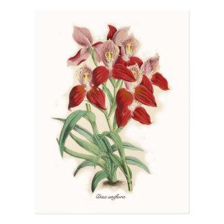 Disa uniflora postcard