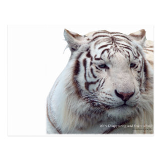 Disappearing Tigers Postcard