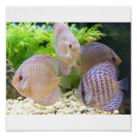 Discus fish ps poster