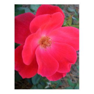 Diseñador de CricketDiane del rosa rojo del verano Tarjeta Postal