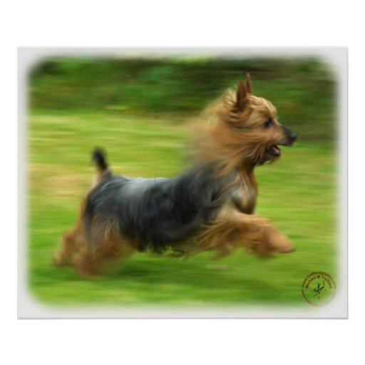 Diseño australiano de Terrier sedoso Póster