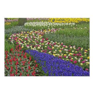 Diseño del jardín de jacinto de uva, y tulipanes, cojinete