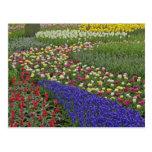 Diseño del jardín de jacinto de uva, y tulipanes, postales