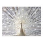 Diseño del pavo real del albino postal