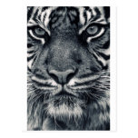 diseño del tigre tarjetas postales