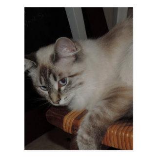 Diseño original de la foto del gatito del gato de tarjetas postales