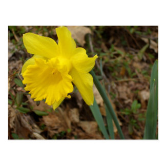 Diseños florales amarillos de Jonquils de la Postal