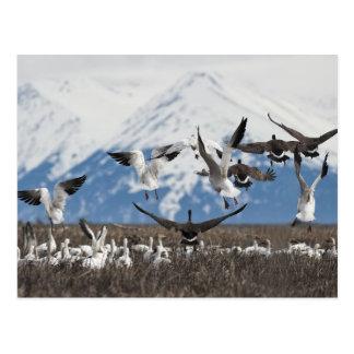Dispersión de gansos postales