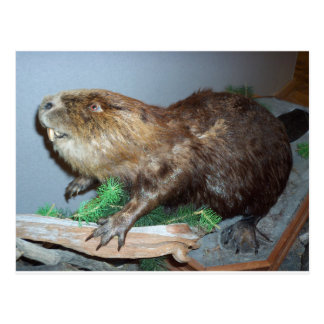 Displayed Beaver Postcard