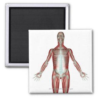 Disposición de todos los músculos en el cuerpo imán cuadrado