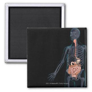 Disposición del sistema digestivo humano imán cuadrado