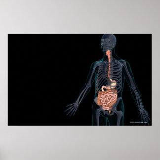 Disposición del sistema digestivo humano posters
