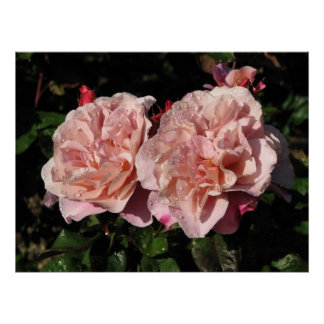 Distant Drums Shrub Rose 142 Poster