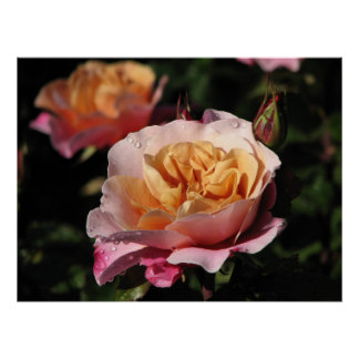 Distant Drums Shrub Rose 143 Posters