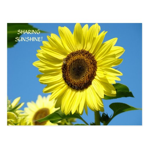 DISTRIBUCIÓN de las flores de Sun de las postales