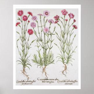 Diversas variedades de clavel, del 'Hortus Ey Poster