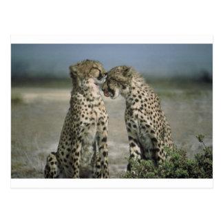 ¡Diversión con los guepardos! Postal