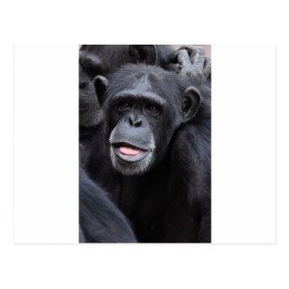 Diversión del chimpancé postales