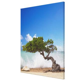 Divi Divi Tree, Eagle Beach, Aruba, Caribbean Stretched Canvas Print