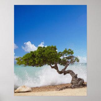 Divi Divi Tree, Eagle Beach, Aruba, Caribbean Posters