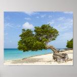 Divi Divi Tree on the Caribbean Island of Aruba Poster