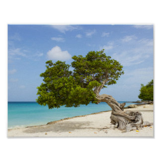 Divi Divi Tree on the Caribbean Island of Aruba Poster