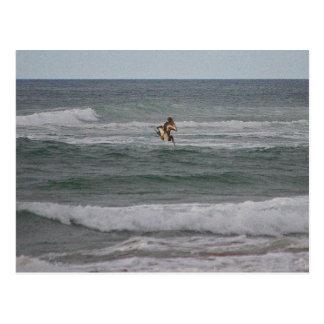 Diving Brown Pelican Postcard