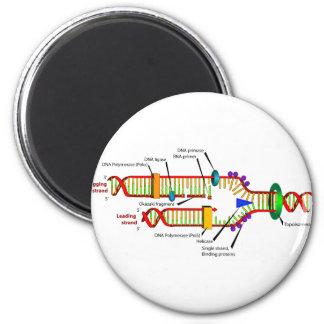DNA replication Magnet