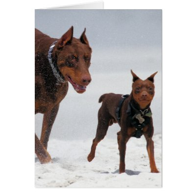 Mini Doberman Pinscher For Sale Group Picture Image By Tag | Dog ...