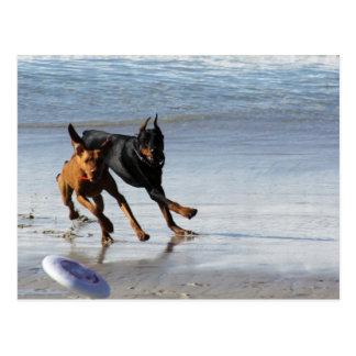 Doberman and Rhodesian Ridgeback - Frisbee Play Postcard