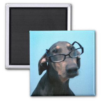 Doberman azul con el imán de las gafas