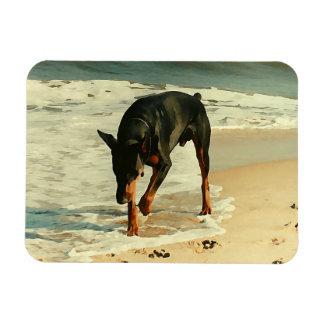 Doberman en la imagen de la pintura de la playa imanes de vinilo