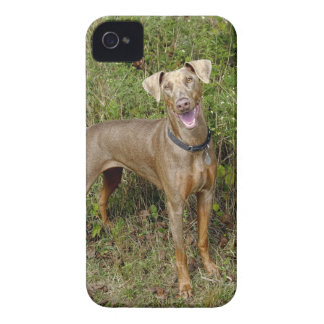 Doberman Fawn Rescue iPhone 4 Covers