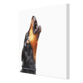 Doberman howling, close-up stretched canvas prints