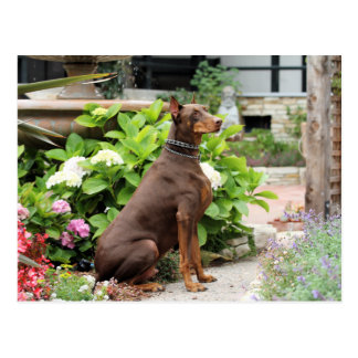 Doberman - In the Church Garden Postcard