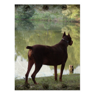 Doberman Overlooking a Lake Postcard