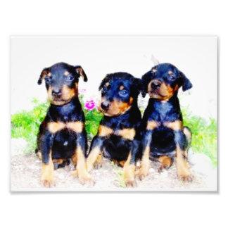 Doberman Pinscher puppies Photo Print