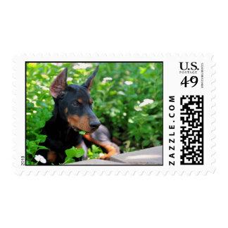 Doberman puppy cropped stamp