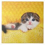 Doblez del escocés; es una raza del gato con un azulejo cuadrado grande