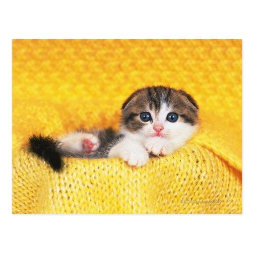 Doblez del escocés; es una raza del gato con un tarjetas postales
