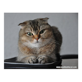 Doblez lindo del escocés del gato: cómo está usted postales